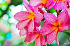 PLUMERIA FRAGRANCE | PHTHALATE FREE | SOAP AND CANDLE COMPATIBLE